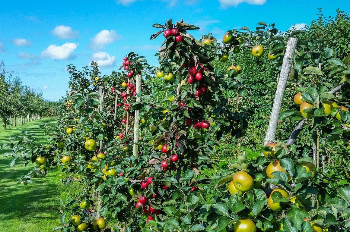 Herbstzeit ist Apfelerntezeit