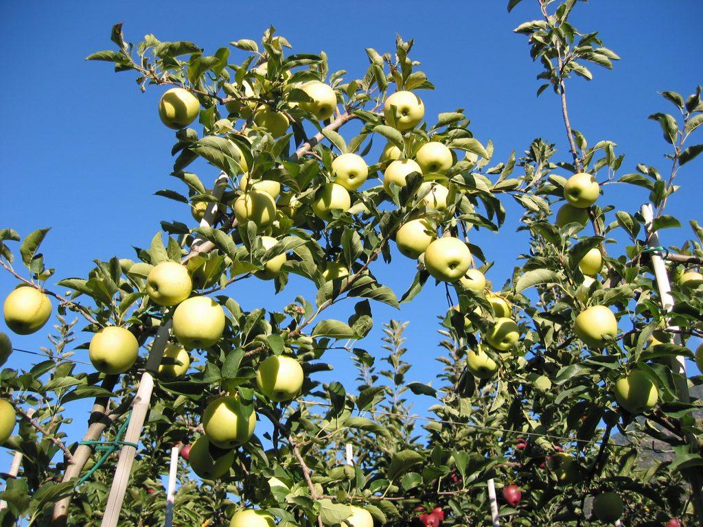 Apfelbäume mit reifen Äpfeln kurz vor der Ernte